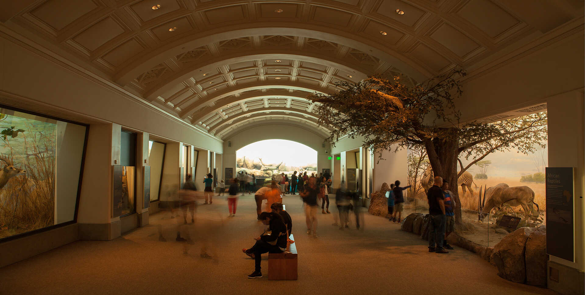 Visitors wander through African Hall, filled with dioramas on both sides and an African penguin colony at the far end.