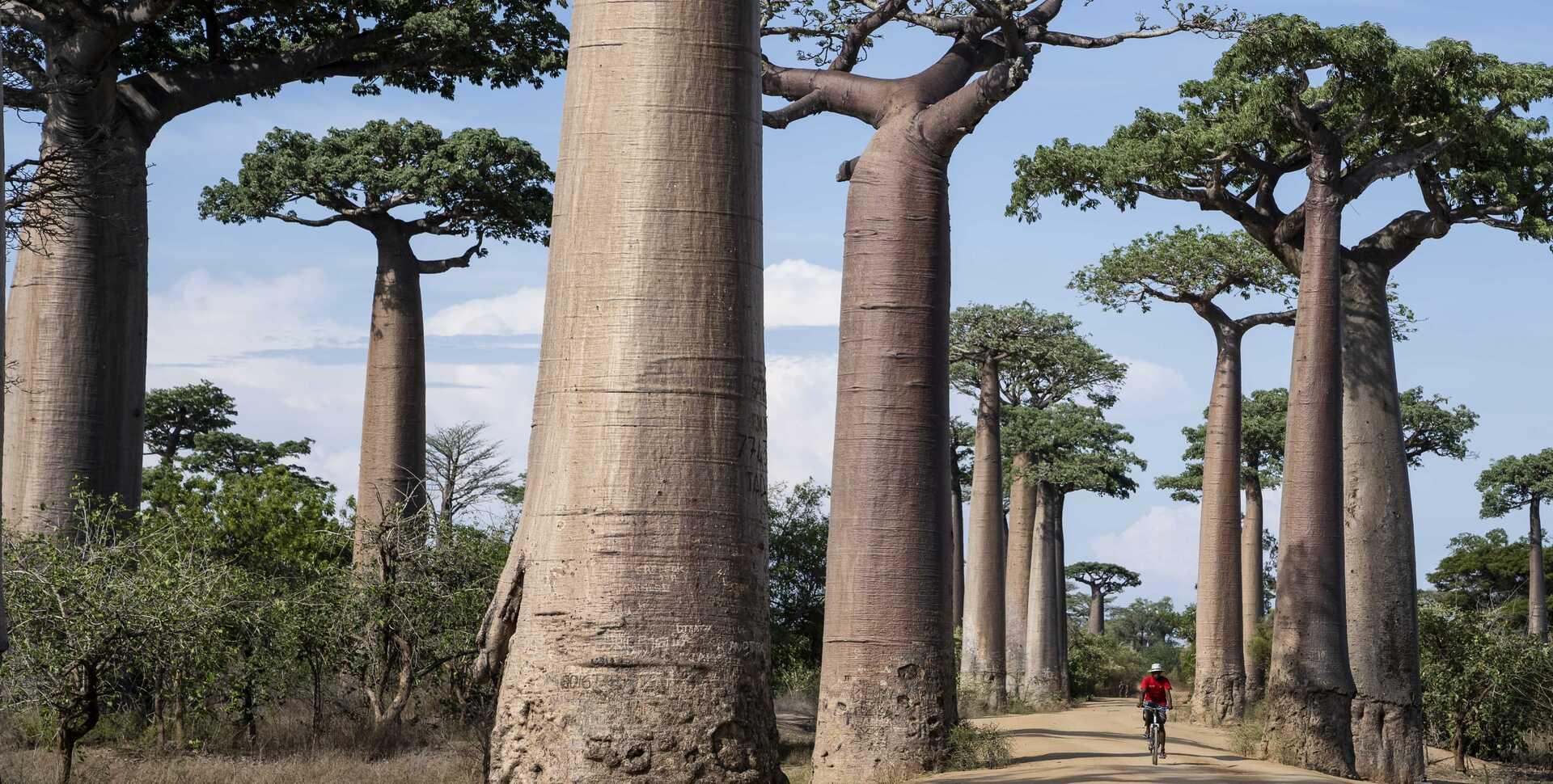 A man on a bike rides through a grove of baobab trees in Madagascar