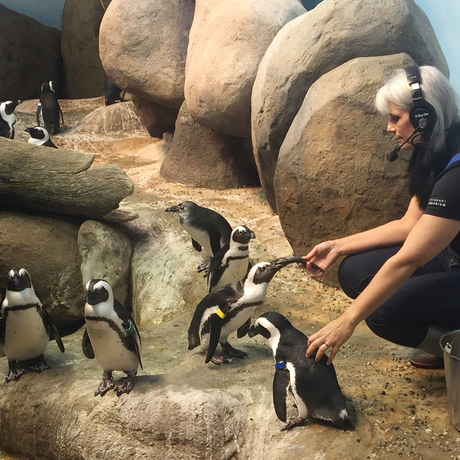 Biologist during a daily penguin feeding in African Hall