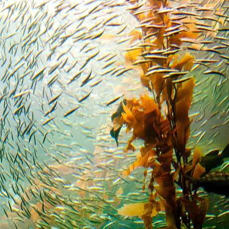 kelp forest, giant kelp forest, fish in kelp