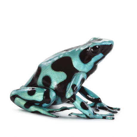 Image of a blue frog with black spots