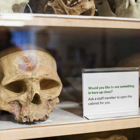 A small human skulls on a shelf in the Naturalist Center.