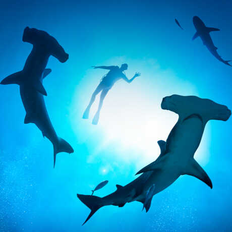 Underwater photo of hammerhead sharks swimming with a diver
