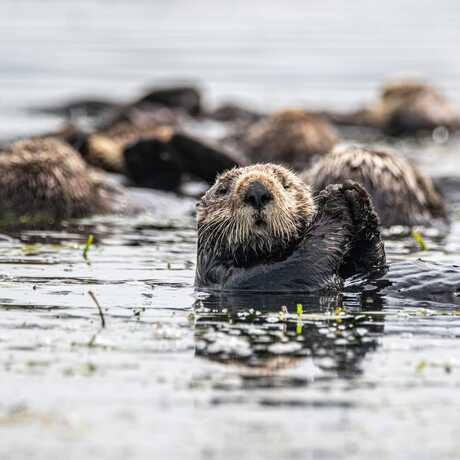 A group of sea otters float on the surface of the water at Elkhorn Slough