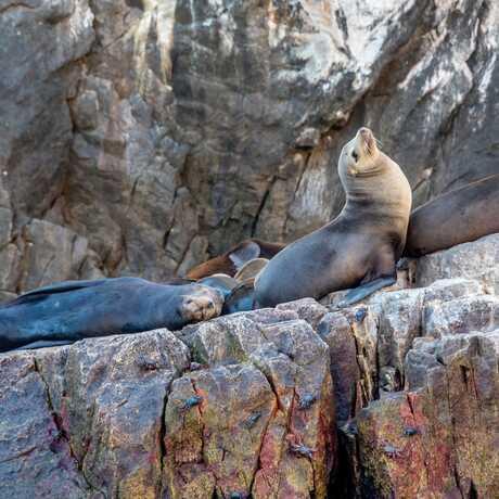 California sea lions basking on rocks