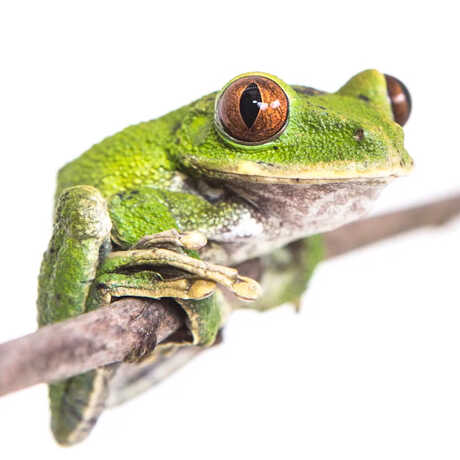 Close-up of green tree frog on a branch