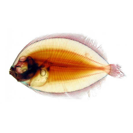Stained fish from the ichthyology collection