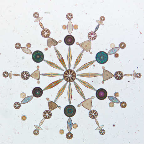 Arranged diatoms from the California Academy of Sciences