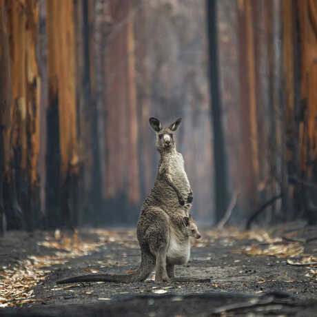 An eastern grey kangaroo stands in a burned eucalyptus plantation in the 2021 BigPicture Grand Prize Image