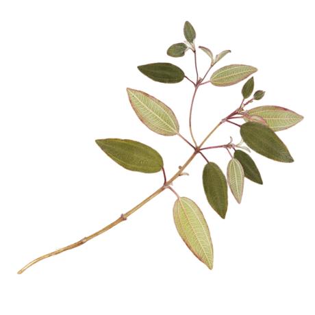 glory bush