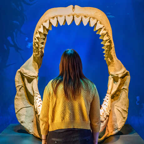 Guest looks into the giant fossilized jaws of extinct Carcharodon megalodon shark