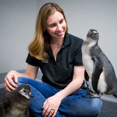 Two African penguin chicks sit with their biologist
