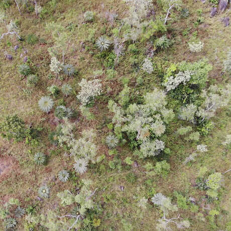 Cycas drone image