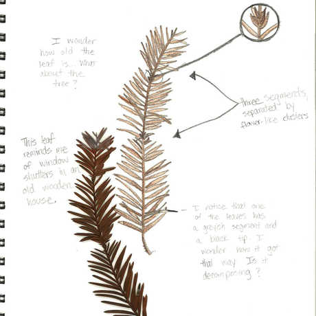 Leaf sketch1