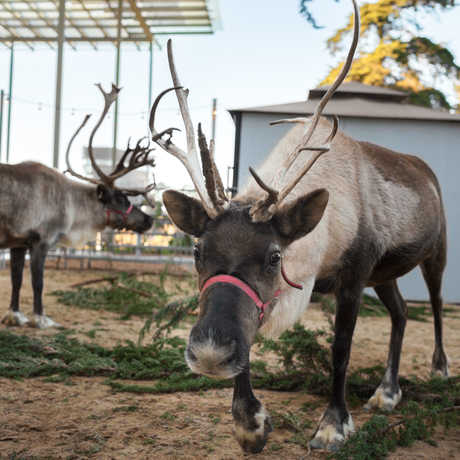 Reindeer at the California Academy of Sciences