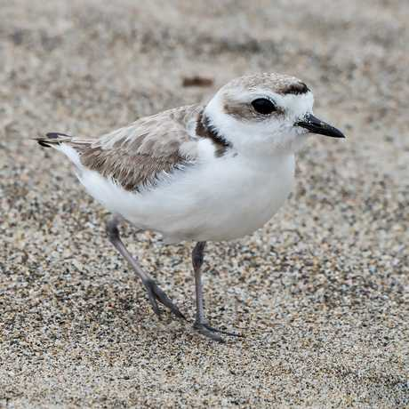 Snowy Plover on the sand