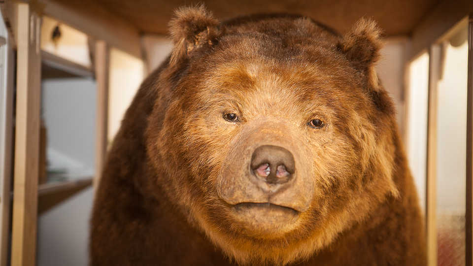 Monarch the Grizzly Bear