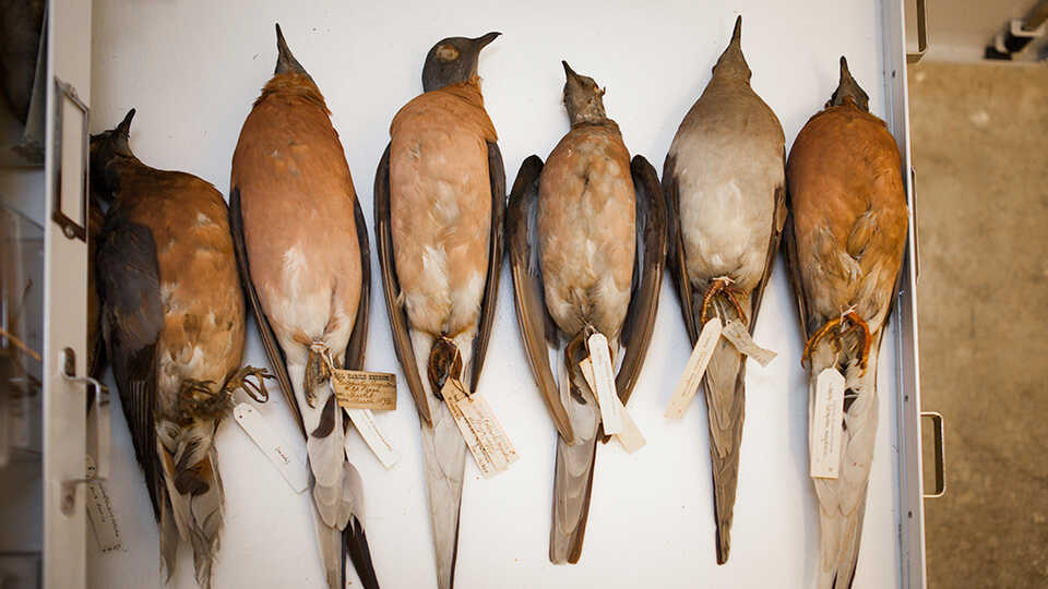 Six passenger pigeon specimens from the Academy's collection