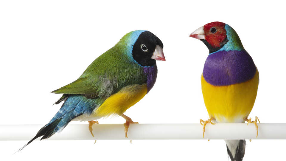 Two colorful Gouldian finches perch against a white background