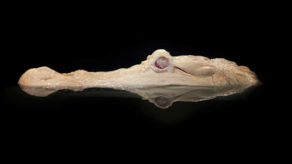 Top of head of alligator with albinism ominously peeks out of dark water