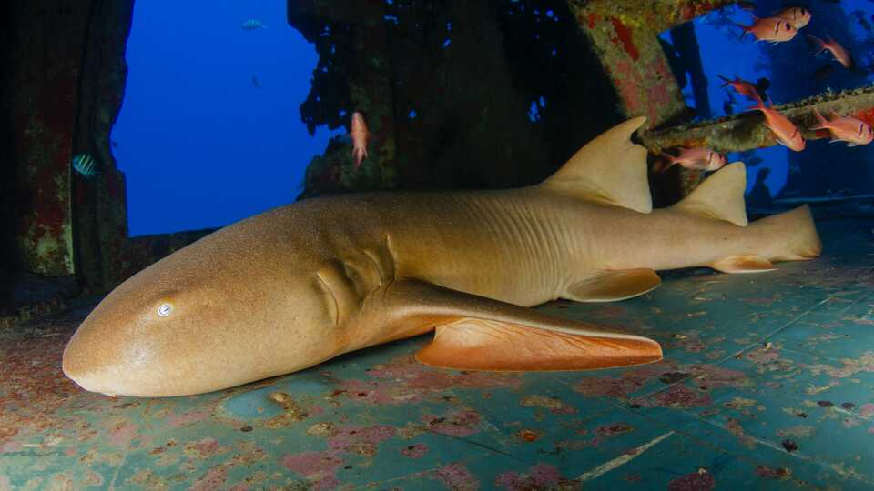 Close-up underwater shot of nurse shark resting on a wreck