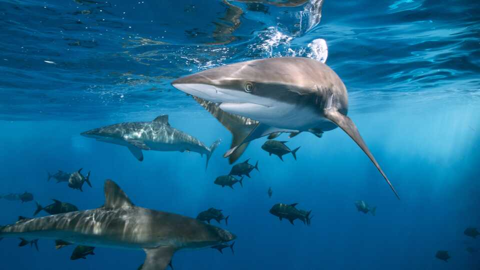 Reef sharks and fish in the open ocean